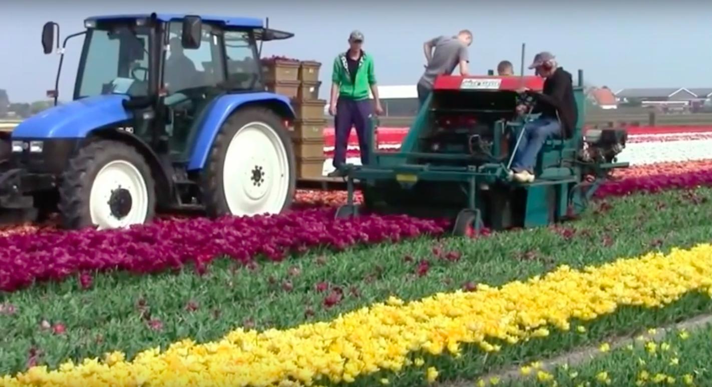 Tako izgleda strojno nabiranje tulipanov. Delo več deset delavcev zdaj nadomesti en sam stroj.